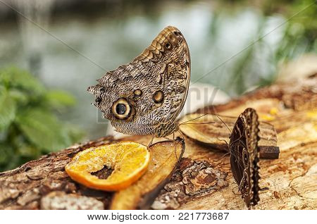 Close-up of an common buckeye butterfly eating fruits