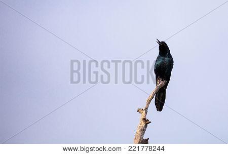 Common Grackle Bird Quiscalus Quiscula