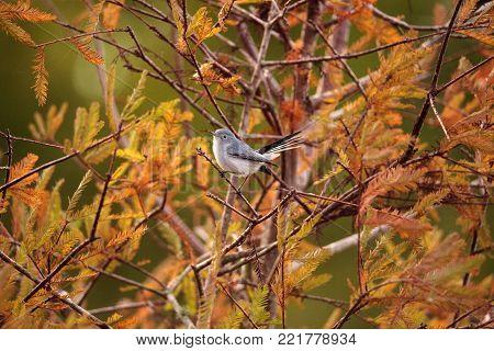 Grey Catbird Dumetella Carolinensis