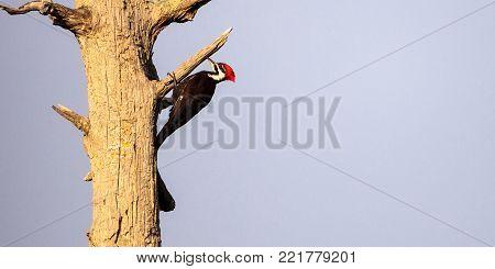 Male Pileated Woodpecker Bird Dryocopus Pileatus