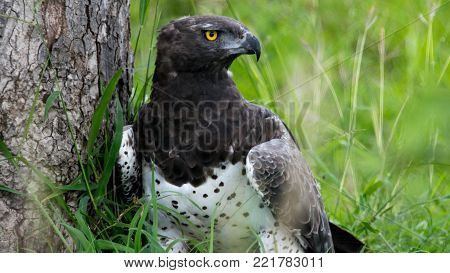 Martial Eagle - this is the largest of African eagles