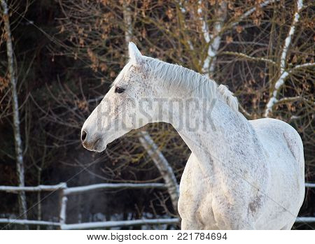 Grey trotter on a forest background in a paddock