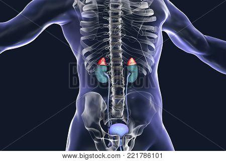 Adrenal glands highlighted inside human body, 3D illustration