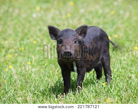 Black pig of wild coloring on a meadow