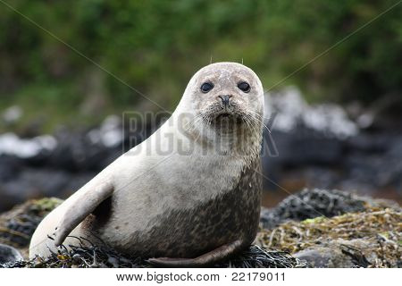 Onlooker Seal