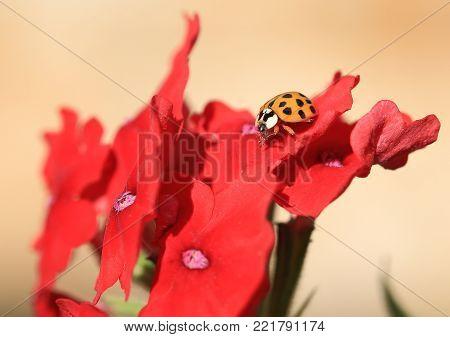 Gelbe Marienkäfer sitzt auf einer roten Blüte,sonnigen Tag.