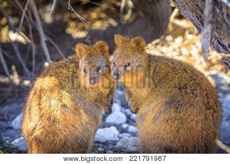 Two Quokka in Rottnest Island, summer season, Western Australia. Quokka is considered the happiest animal in the world. Quokka is the symbol and icon of the island near Perth in Australia.