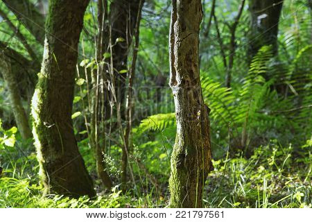 Trees Of Old Forest With Blurred Leaves Of Fern In Background