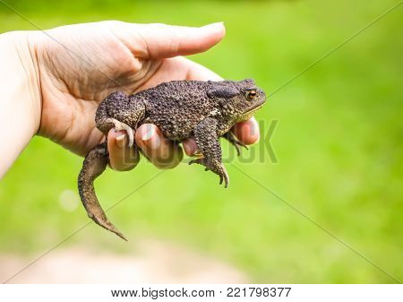 Brown toad in a hand on summer nature background.
