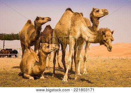 Group Of Camels walking in liwa desert in Abu Dhabi UAE poster