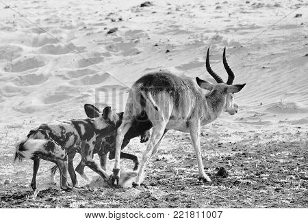 Black and white image of African Wild Dogs (Lycaon Pictus) attacking and Killing a Puku Antelope in South Luangwa National Park, Zambia