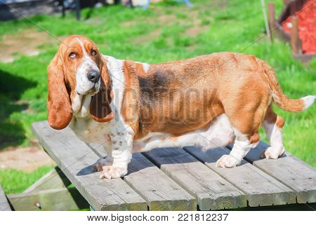 Lovely basset hound tricolor with brown, dark and white standing on gray wood table in garden, healthy with wet nose and clean dog female, domestic animal at home.