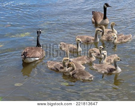 A pair of Canada geese, Branta Canadensis, and their twelve goslings are out on a family outing on a small lake in southeastern Michigan.