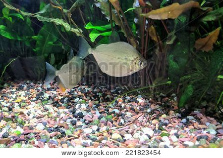 Tropical freshwater densely planted aquarium with Silver Dollar (Metynnis lippincottianus)