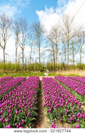Large view on the colorful tulip field