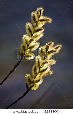 Pussy Willow in Silhouette