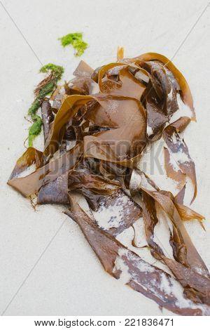 Seaweeds on the sandy shore of the Atlantic Ocean at low tide