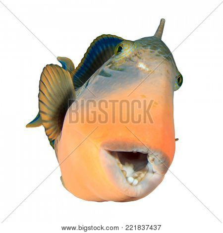 Triggerfish tropical reef fish isolated on white background