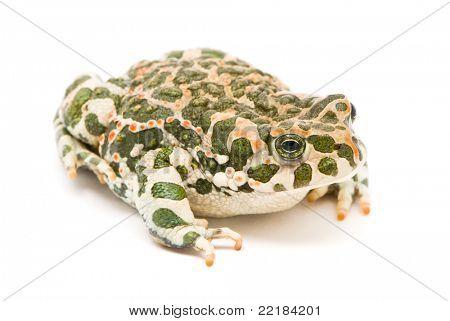 Bufo viridis. Green toad on white background.