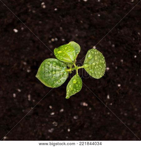 Flower sprout in the pot. Sprout in the ground. Young plant