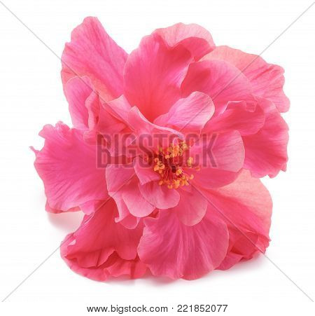 Pink Hibiscus rosa sinensis double isolated on white