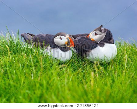 Atlantic Puffins resting on green grass at Latrabjarg Cliff in Iceland