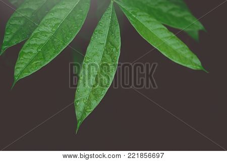 Low key Dark lighting Nature background, green leaves in natural light and shadow, symbolic of peaceful and safe the Earth or life or Zen with toned color and selective focus.