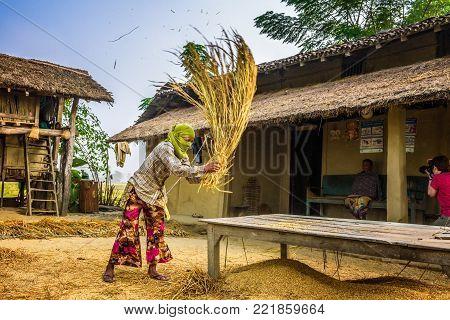 CHITWAN, NEPAL - OCTOBER 24, 2015 : Nepalese woman threshing grain manually on a farm