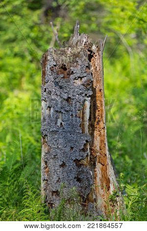 Old Dead Tree With Holes Left By Woodpecker