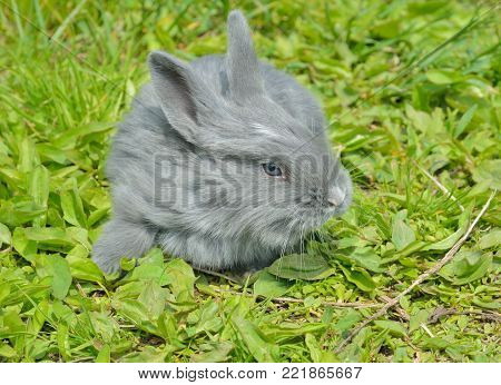 A close up of the young grey rabbit on grass.