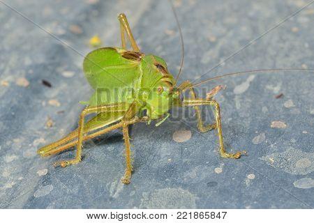 A close up of the grasshopper, male.