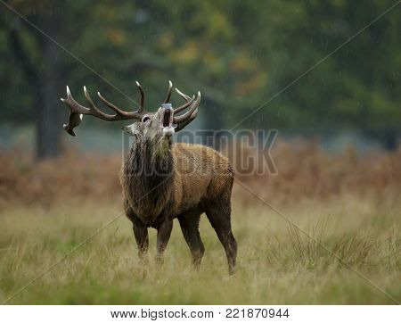 Close up of red deer stag bellowing in the rain during the rut, England.