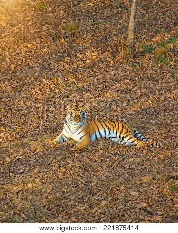 Tigress lying on the ground, resting. Russia. the Amur tiger. Taiga poster