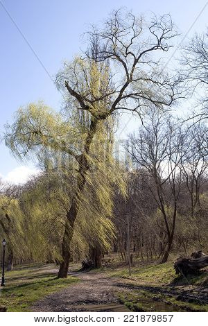 Tall willow and park alley. The vertical image.