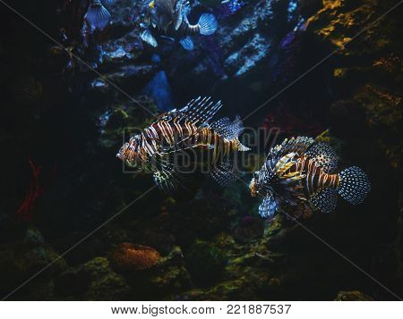 Very curious Common Lionfish coming very close to investigate the camera. Devil firefish Pterois miles on a background of a coral reef. in aquarium.