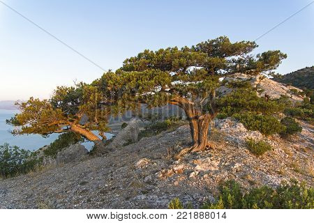 Relict junipers (Juniperus excelsa) at the top of the mountain above the sea in the morning sun. Karaul-Oba, Novyy Svet, Crimea.