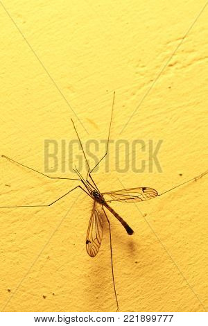 A mosquito sitting on yellow wall indoor. Extreme close-up.