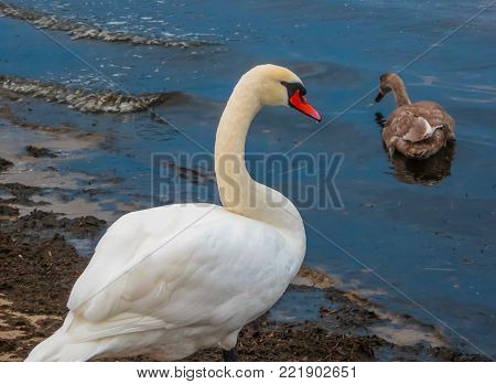 Beautiful white swans and their chicks on the beach