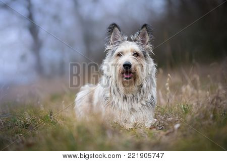 Berger picard dog in winter field with long hair