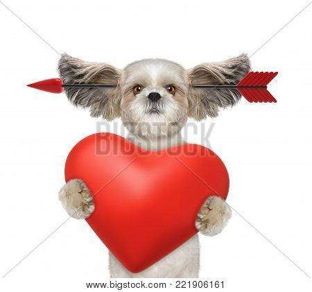 Cute shitzu dog is falling in love on valentines day. Isolated on white background