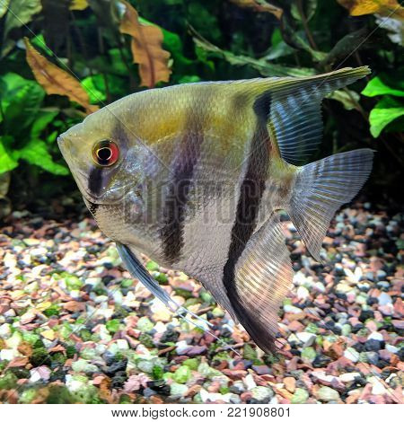 Angelfish swimming in heavily planted tropical aquarium near its bottom