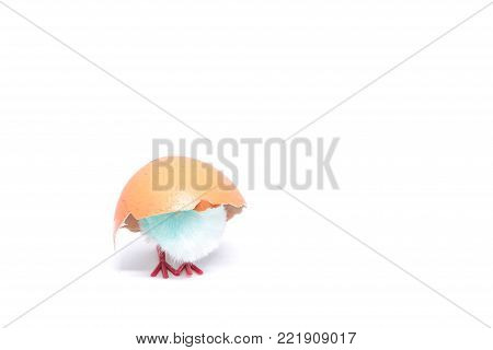 isolated blue chicken sitting in a shell on the background of a broken shell. concept of Easter