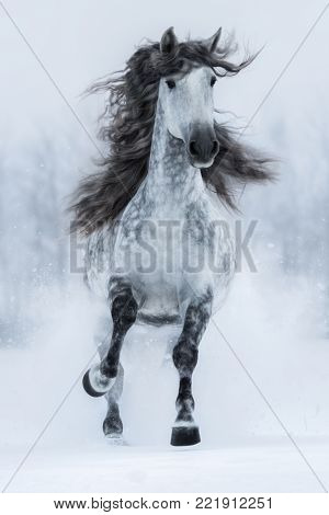 Galloping grey long-maned purebred Spanish horse in winter. Vertical outdoors image. Front view.