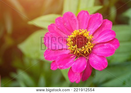 Zinnia flower in spring blossom, closeup view of spring zinnia flower. Flower spring background with spring zinnia flower blooming in the spring garden. Spring flower background. Flower spring landscape view