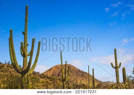 Long Arms Of Saguaro Cactus In Arizona Desert