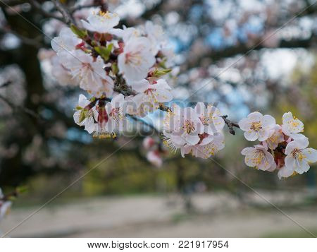 Flowering branch of apricot tree. Early flowering of trees in April. White apricot flowers of small size