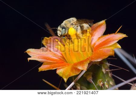 A solitary Cactus Bee native to Arizona staking her claim to a cactus flower that has opened after sunset.