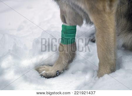 Dog seems wounded sitting on the snow with a bandage on front leg