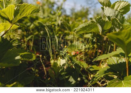 Strawberry plant. Blossoming of strawberry. Wild stawberry bushes. Strawberries in growth at garden.
