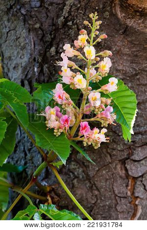 Red flower chestnut tree on a green branch of aesculus tree